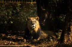 Indischer Löwe Stockfoto