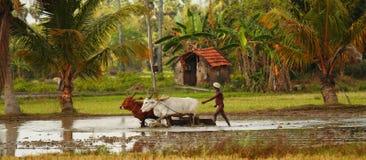 Indischer Landwirt mit Oxes auf dem überschwemmten Reis-Gebiet lizenzfreies stockfoto
