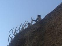 Indischer Langur Affe Stockbild