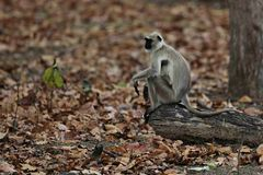 Indischer Languraffe im Naturlebensraum Lizenzfreies Stockfoto