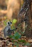 Indischer Languraffe im Naturlebensraum Stockbilder