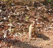 Indischer Mützen-Makaken - Macaca radiata - auf dem Boden und dem Untersuchung Augen Stockbilder