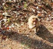 Indischer Mützen-Makaken - Macaca radiata - sitzend auf dem Boden und mit der Hand essend Stockbild