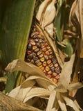 Indischer Mais stockfotografie