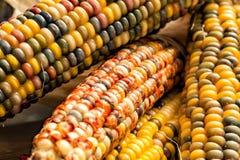 Indischer Mais oder Flint Corn Close Up Stockbilder
