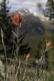Indischer Malerpinsel mit Mt Silverheels in Colorado Lizenzfreie Stockfotografie