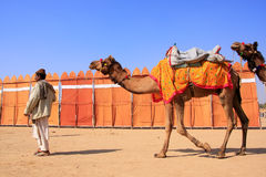 Indischer Mann, der mit Kamelen in Jaisalmer, Indien geht Stockfotografie