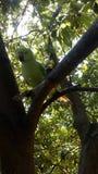 Indischer Papagei im Baumbild Stockfotos