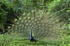 Indischer Peafowl oder der indische Pfau lizenzfreies stockfoto