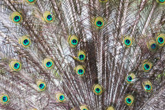 Indischer Peafowl/Pavo cristatus Lizenzfreies Stockfoto
