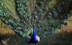 Indischer Peafowl (peacok) lizenzfreies stockbild