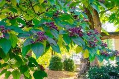 Indischer Pfeilwurzel beutifull Baum lizenzfreies stockbild