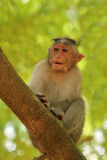 Indischer Rhesusaffe (Makaken) nannte auch Macacamulatta Lizenzfreies Stockfoto