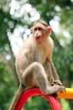 Indischer Rhesusfaktormakakenaffe (Macaca mulatta) mit lustigem Gesicht Stockbilder