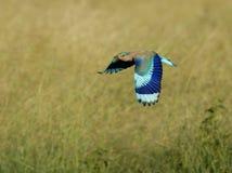 Indischer Rollenflug mit dem vollständigen Flügel angezeigt Lizenzfreies Stockfoto
