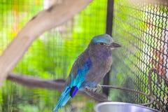 Indischer Rollenvogel Lizenzfreies Stockfoto