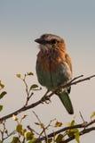 Indischer Rollenvogel, der auf einem Glied, Namibia sitzt lizenzfreie stockfotografie