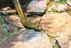 Indischer Schlangen-Biss Lizenzfreies Stockbild