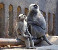 Indischer schwarzer Affe, der mit Baby sitzt und oben schaut stockfotos