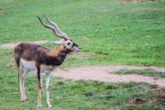 Indischer schwarzer Buck Antelope auf den Gebieten stockbild