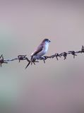 Indischer silverbill Vogel Lizenzfreie Stockfotografie