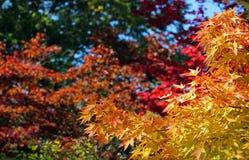 Indischer Sommer, bunter Herbstlaub Lizenzfreie Stockbilder