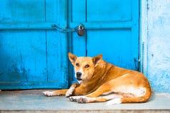 Indischer Straßenhund auf einem Hintergrund der blauen Tür Stockfoto