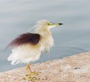 Indischer Teich-Reiher stockfotos