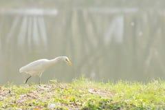 Indischer Teichreiher, der neben einem See geht Lizenzfreie Stockbilder