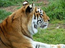 Indischer Tiger (weibliche) 15 Jahre alt Lizenzfreie Stockfotografie