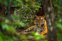 Indischer Tigermann mit erstem Regen, wildes Tier im Naturlebensraum, Ranthambore, Indien Große Katze, gefährdetes Tier Ende troc Lizenzfreies Stockfoto