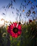 Indischer umfassender Wildflower lizenzfreie stockfotos