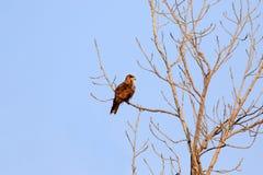 Indischer wilder Adler Lizenzfreies Stockbild