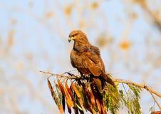 Indischer wilder Adler Stockfoto