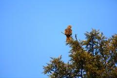 Indischer wilder Adler Lizenzfreie Stockfotografie