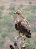 Indischer wilder Adler Lizenzfreies Stockfoto