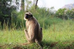 Indisches Affe Langurs Presbytis-entellus, das auf Gras in den Dschungeln sitzt Hampi, Karnataka-Staat, Indien Lizenzfreie Stockbilder