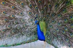 Indisches blaues Pfau-Portrait Stockfotografie