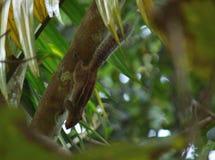 Indisches Eichhörnchen Stockfotografie