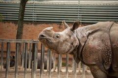 Indisches ein-gehörntes Nashorn Stockbild
