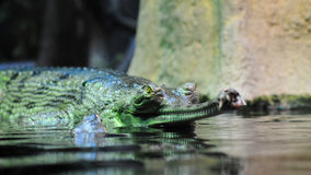 Indisches gavial Stockfotos