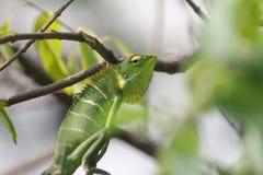 Indisches grünes Chamäleon mit weißen Streifen Lizenzfreie Stockfotos