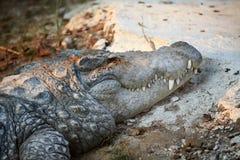 Indisches Krokodil Stockbild