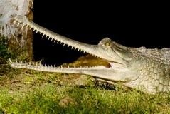 Indisches Krokodil Gharial Lizenzfreies Stockfoto