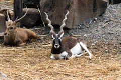 Indisches männliches blackbuck Antilope oder Antilope cervicapra Lizenzfreie Stockfotografie
