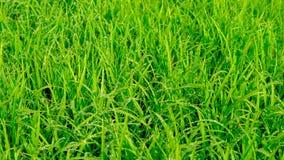 Indisches Paddy seed& x28; Reis seed& x29; mit Tau Fokus in Richtung zu den niedrigeren und mittleren Zahlen stockbilder