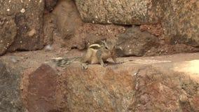 Indisches Palmen-Eichhörnchen oder Drei-gestreiftes Palmen-Eichhörnchen, Funambulus Palmarum, Neu-Delhi, Indien, Video der Gesamt stock video