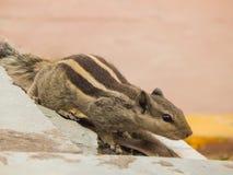 Indisches Palmeneichhörnchen, das drei Streifen auf einer Wand hat stockfotografie