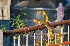 Indisches Palmeneichhörnchen (Funambulus-palmarum) auf der Schiene einer Dachspitze unter Houseplants Stockfoto