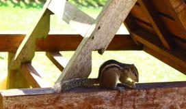 Indisches Palmeneichhörnchen isst Acajoubaum Stockfotografie